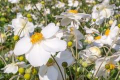 Λουλούδια honorine hybrida Anemone jobert Στοκ Εικόνες