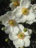 Λουλούδια Hupehensis Anemone το φθινόπωρο στο Central Park, Μανχάταν Στοκ εικόνες με δικαίωμα ελεύθερης χρήσης