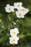 Λουλούδια hupehensis Anemone Στοκ φωτογραφία με δικαίωμα ελεύθερης χρήσης