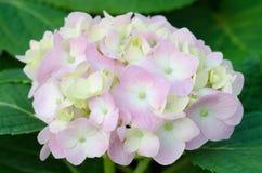 Λουλούδια Hydrangea Στοκ εικόνες με δικαίωμα ελεύθερης χρήσης