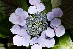 Λουλούδια Hydrangea Στοκ εικόνα με δικαίωμα ελεύθερης χρήσης