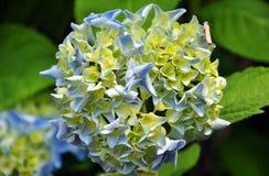 Λουλούδια Hydrangea Στοκ Εικόνα