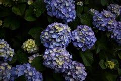 Λουλούδια Hydrangea Στοκ φωτογραφίες με δικαίωμα ελεύθερης χρήσης