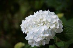 Λουλούδια Hydrangea Στοκ Φωτογραφίες