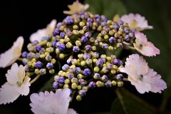 Λουλούδια Hydrangea Στοκ Φωτογραφία