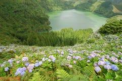 Λουλούδια Hydrangeas στο ηφαίστειο Στοκ φωτογραφίες με δικαίωμα ελεύθερης χρήσης