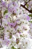 Λουλούδια Inthanin ή myrtle υφάσματος κρεπ βασίλισσας Στοκ εικόνα με δικαίωμα ελεύθερης χρήσης