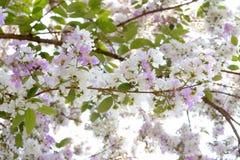 Λουλούδια Inthanin ή myrtle υφάσματος κρεπ βασίλισσας Στοκ φωτογραφία με δικαίωμα ελεύθερης χρήσης