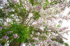 Λουλούδια Inthanin ή myrtle υφάσματος κρεπ βασίλισσας Στοκ Εικόνα