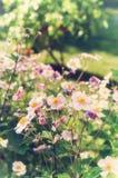 Λουλούδια japonica Anemone, αναμμένα από το φως του ήλιου στον κήπο Στοκ φωτογραφία με δικαίωμα ελεύθερης χρήσης