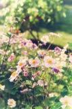 Λουλούδια japonica Anemone, αναμμένα από το φως του ήλιου στον κήπο Στοκ Εικόνα
