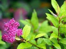 Λουλούδια japonica Spiraea - Spirea μετά από τη βροχή Στοκ φωτογραφία με δικαίωμα ελεύθερης χρήσης