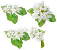Λουλούδια juneberry Στοκ Φωτογραφία