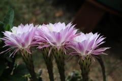 Λουλούδια Kakteen Στοκ εικόνες με δικαίωμα ελεύθερης χρήσης