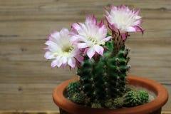 Λουλούδια Kakteen Στοκ Εικόνα