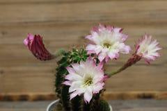 Λουλούδια Kakteen Στοκ φωτογραφία με δικαίωμα ελεύθερης χρήσης