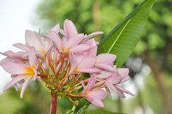 Λουλούδια Kenanga Στοκ Φωτογραφίες