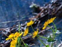 Λουλούδια Kingcup Στοκ εικόνα με δικαίωμα ελεύθερης χρήσης