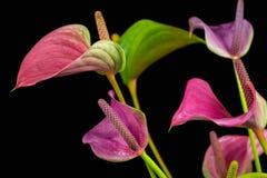 Λουλούδια Lamingo Στοκ Εικόνες