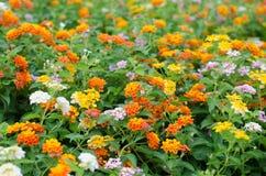 Λουλούδια Lantana Στοκ Εικόνες