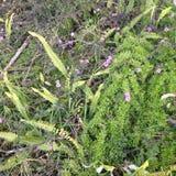 Λουλούδια Lantana Στοκ εικόνα με δικαίωμα ελεύθερης χρήσης