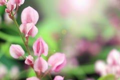 Λουλούδια Leptopus Antigonon Στοκ Εικόνες