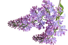 Λουλούδια Liclac Στοκ φωτογραφία με δικαίωμα ελεύθερης χρήσης