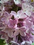 Λουλούδια Lilack Στοκ εικόνες με δικαίωμα ελεύθερης χρήσης
