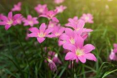 Λουλούδια Lindl rosea Zephyranthes Στοκ Φωτογραφίες