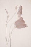 Λουλούδια Lisianthus σε ένα κατασκευασμένο υπόβαθρο στοκ φωτογραφίες