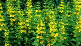 Λουλούδια loosestrife Στοκ Φωτογραφίες