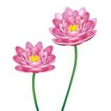 Λουλούδια Lotus που απομονώνονται στο λευκό Στοκ φωτογραφία με δικαίωμα ελεύθερης χρήσης
