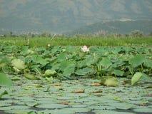 Λουλούδια Lotus σε μια λίμνη σε ladakh-3 Στοκ Φωτογραφία