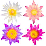 Λουλούδια Lotus στην απομόνωση Στοκ Εικόνα