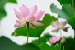 Λουλούδια Lotus Στοκ εικόνες με δικαίωμα ελεύθερης χρήσης
