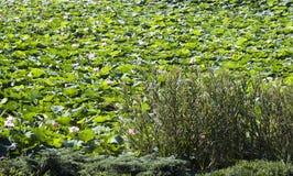 Λουλούδια Lotus Στοκ Φωτογραφία