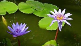 Λουλούδια Lotus απόθεμα βίντεο