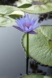 Λουλούδια Lotus Στοκ εικόνα με δικαίωμα ελεύθερης χρήσης