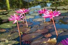 Λουλούδια Lotus Στοκ Εικόνες