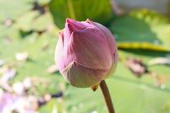 Λουλούδια Lotus Στοκ φωτογραφία με δικαίωμα ελεύθερης χρήσης
