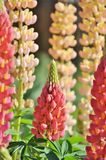 Λουλούδια Lupine σε έναν κήπο Στοκ Εικόνες
