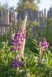 Λουλούδια Lupine Στοκ Φωτογραφία