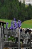 Λουλούδια Lupines στους δολομίτες Val Badia Alta Badia Στοκ Εικόνες
