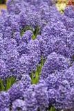 Λουλούδια Lupines Στοκ Εικόνα