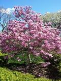 Λουλούδια Magnolia σε ένα δέντρο ενάντια στον ουρανό Στοκ εικόνες με δικαίωμα ελεύθερης χρήσης