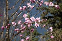 Λουλούδια Magnolia σε ένα θυελλώδες σκοτεινό υπόβαθρο ουρανού Στοκ εικόνα με δικαίωμα ελεύθερης χρήσης
