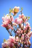 Λουλούδια Magnolia Στοκ φωτογραφίες με δικαίωμα ελεύθερης χρήσης