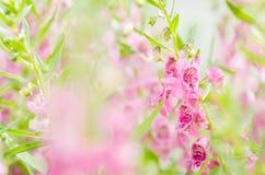 Λουλούδια majus Antirrhinum ή Snapdragons ή δράκων Στοκ εικόνες με δικαίωμα ελεύθερης χρήσης