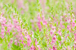 Λουλούδια majus Antirrhinum ή Snapdragons ή δράκων Στοκ Εικόνα