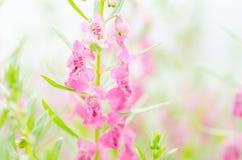 Λουλούδια majus Antirrhinum ή Snapdragons ή δράκων Στοκ εικόνα με δικαίωμα ελεύθερης χρήσης